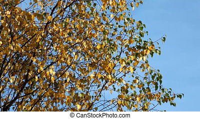 birch branch and leaves on wind