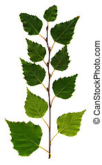Birch branch on the isolated white background