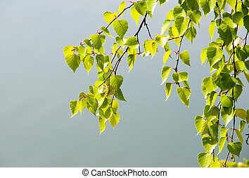 Birch branch - Image of green birch branch with lots of...