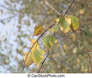 Birch branch with colorful leaves in autumn moving in the wind.