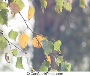 Birch branch with yellow leaves moving in the wind. Natural Autumn View.