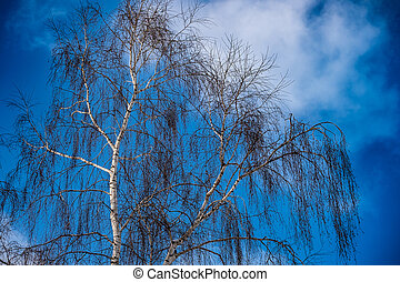 Birch branches from the bottom up in the winter forest