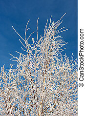 birch branches in a hoarfrost