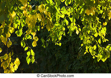 Birch branches in the sun with bright colorful yellow, green autumn leaves