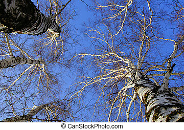 Birch branches on background blue s