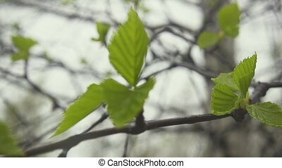Birch branches sway in the wind. Slow motion