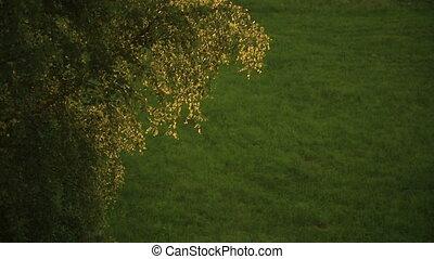 Birch branches swaying