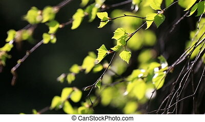 Birch branches with green leaves in sunny spring day