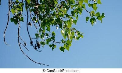 Birch branches with green leaves moving in the wind in front of the sky