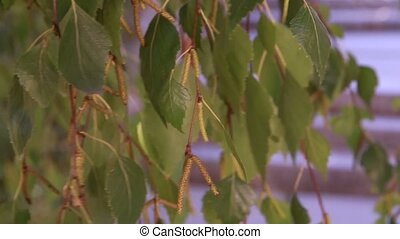 Birch branches with leaves and buds