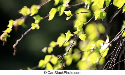 Birch branches with light green leaves - Green birch leaves...