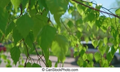 Birch branches with lush foliage fluttering on wind in...