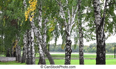 Birch branches with swaying in the wind