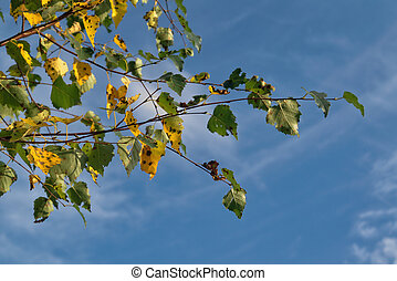 Birch branches with yellow and green autumn leaves on a background of blue sky.