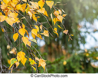 Birch branches with yellow leaves in autumn, in the light of sunset.