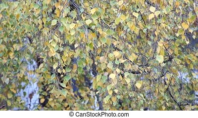 Birch branches with yellow leaves rustle in the wind (Betula)
