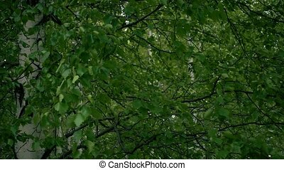 Birch branches with young leaves. Slow mo