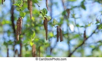 Birch buds on blue sky