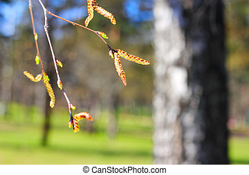 Birch buds on forest background in springtime