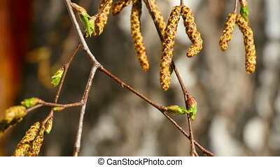 Birch catkin bloom and buds, close-up