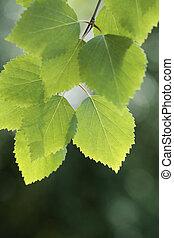Birch - Closeup of a birch tree