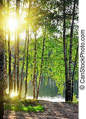 birch fa, alatt, egy, nyár, erdő