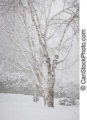 birch fa, alatt, tél