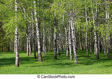 Birch forest. - A beautiful birch grove in summer. ...