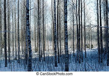 birch forest in deep scandinavian winter frost