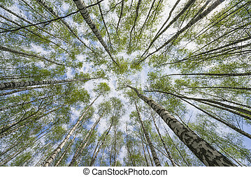 Birch forest in early spring, trees against the sky.