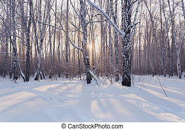 birch forest in snow