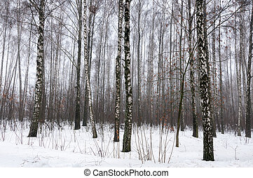 Birch forest in snow winter
