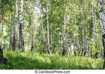 Birch forest in summer