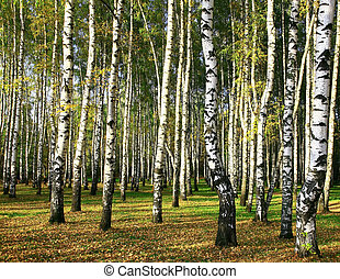 Birch forest in the golden evening sunshine