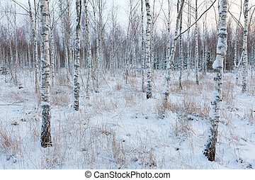 Birch forest landscape in Finland