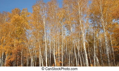 Birch forest on a sunny day. autumn