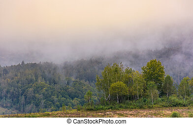 birch forest on foggy morning. beautiful nature scenery in...