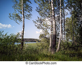 Birch forest on the shore of a large lake