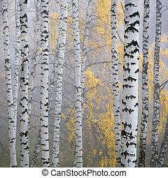 birch forest - a birch grove in the haze fragment trunks.