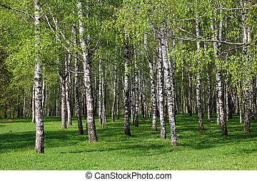 Birch forest. - A beautiful birch grove in summer....