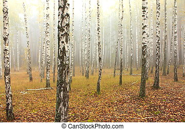 birch forest - Fog in birch forest