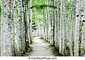 Birch forest trails