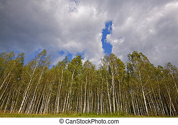 Birch forest under cloudy sky