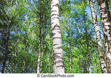 Birch forest with green foliage in the spring