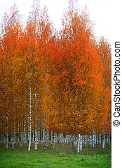Birch forest with orange and brown leaves