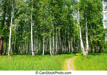 birch grove and forest path landscape