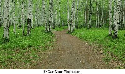 Birch grove green path in day light