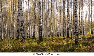Birch grove in autumn