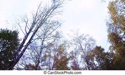 Birch grove in autumn - View of the birch grove below