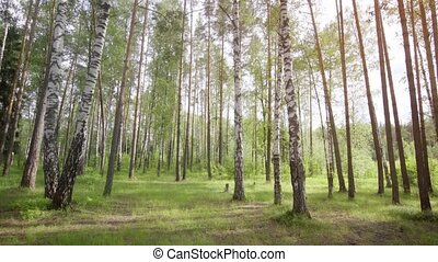 Birch grove, in central Russia. Stock footage with sounds